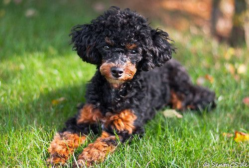 Caniche Toy Corralet Black and Tan