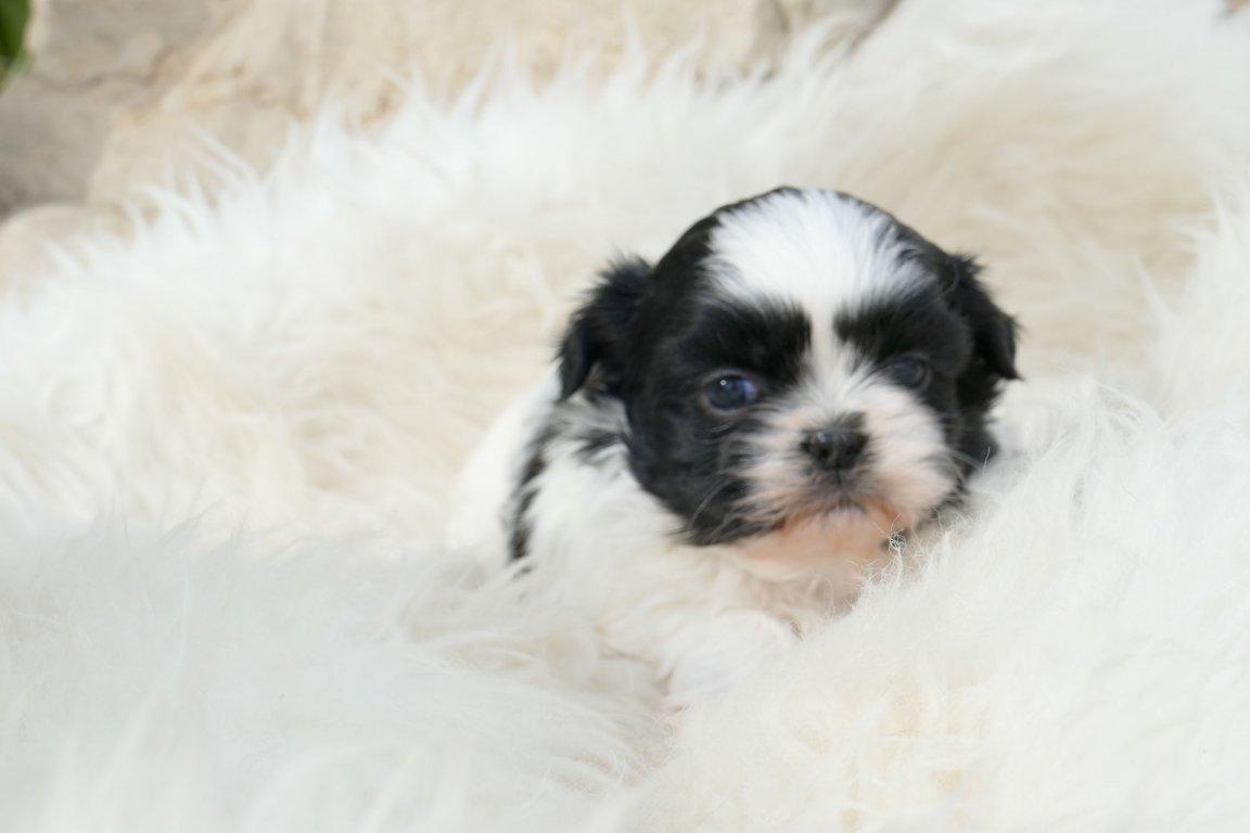 Comprar Cachorros de Shih Tzu - Corralet Venta de Perros