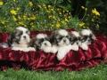 Cachorros Corralet ShihTzu Tricolor