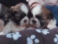 Cachorros Shih-Tzu Tricolor