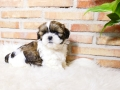 Cachorro Shih-tzu Tricolor