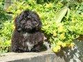 Cachorro Shih-tzu Negro