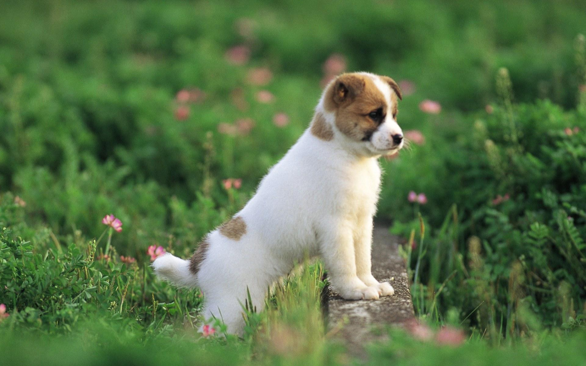 Corralet Parvovirosis Canina