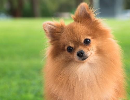 Por Qué Elegir un Perro Pomerania
