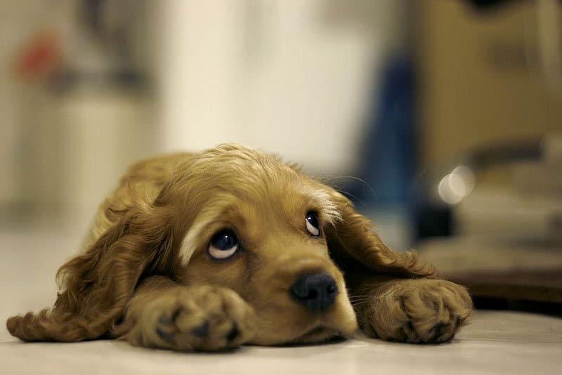 Perro Triste Con Ansiedad Por Separación