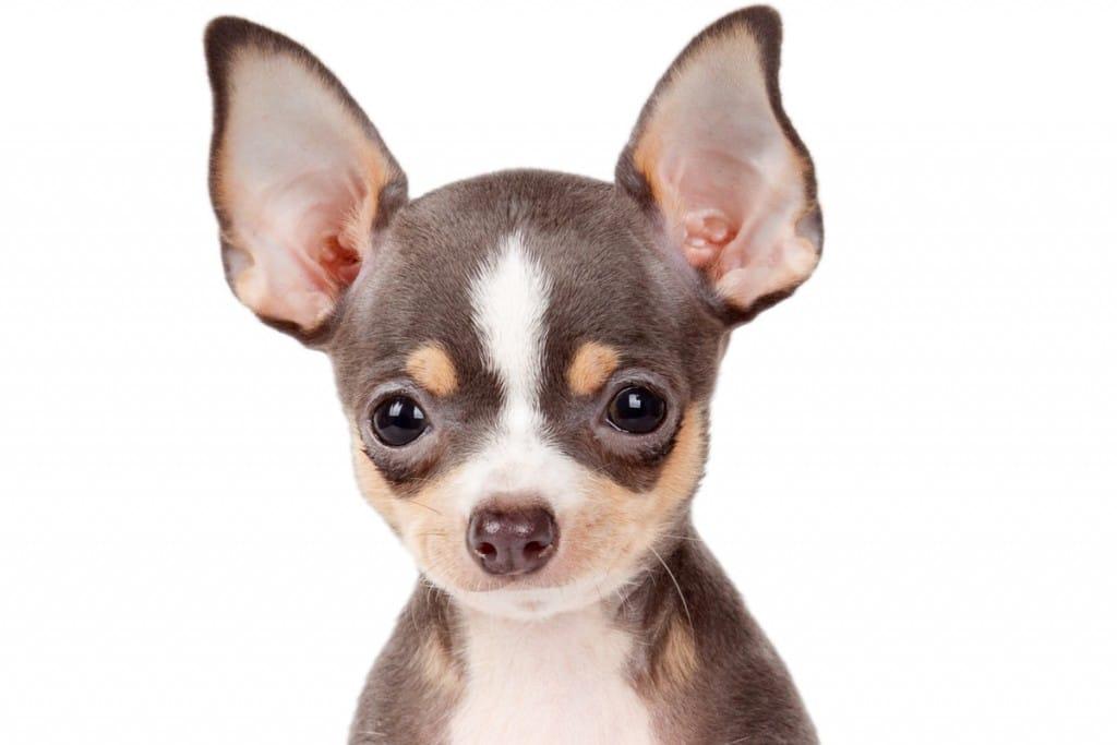 Chihuahua Corralet
