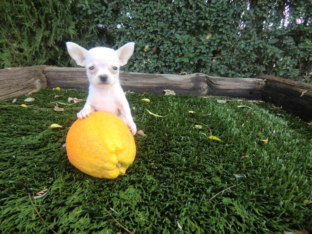 Perro Chihuahua Toy sobre un limón