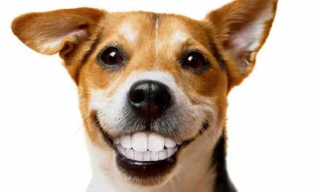 Perro Sonriendo y ensenando dientes