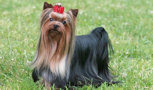 Perro Yorkshire Terrier Pedigree Corralet