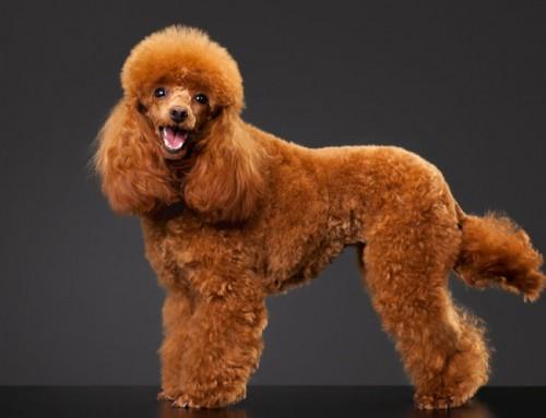 Caniche Toy: 3 Tipos de Corte de Pelo para tu Perro