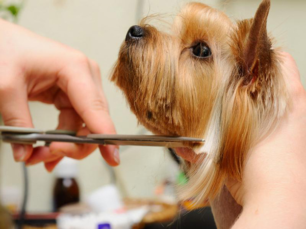 Cuidados del Pelo del Yorkshire Terrier