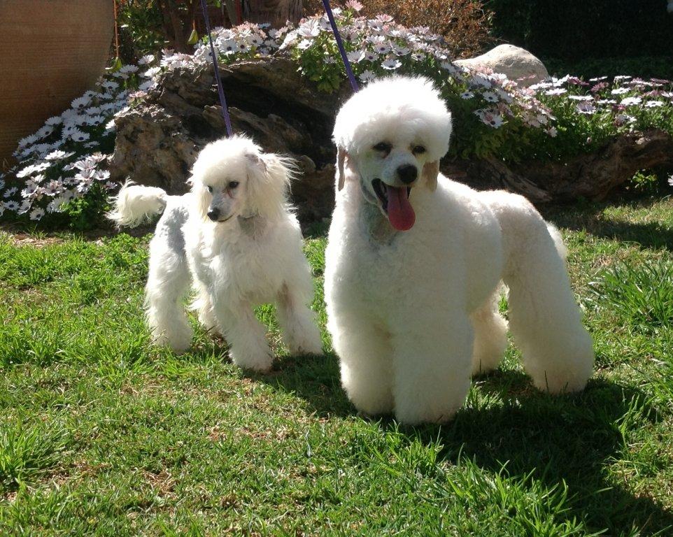 Comprar Cachorros de Caniches Toy Blancos Corralet
