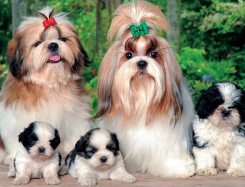 Perros Mini Corralet Con Pedigrí: El Shih Tzu
