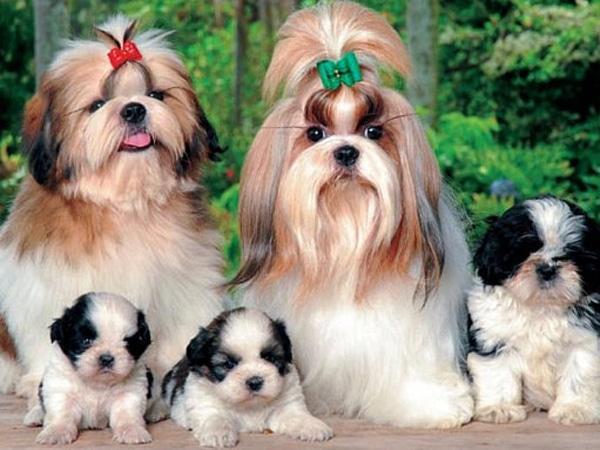 Familia Perros Shih Tzu Toy Corralet