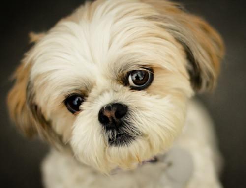 Cuidando a tu Perro: El Cuidado del Pelo del Shih Tzu