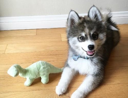 Descubre Este Cachorro Cruce Entre Pomerania y Husky ¡Absolutamente Adorable!